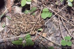 American Frogs and Toads