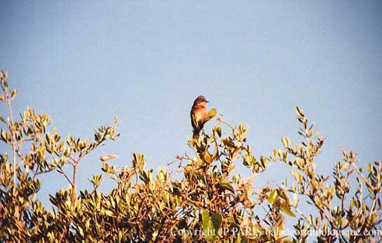 Fauvette passerinette ; Subalpine Warbler ; Sylvia cantillans