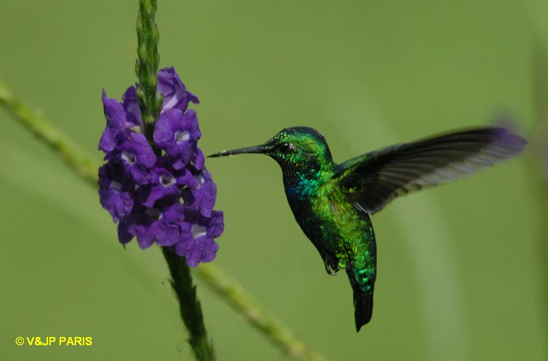 Blue Tailed Emerald