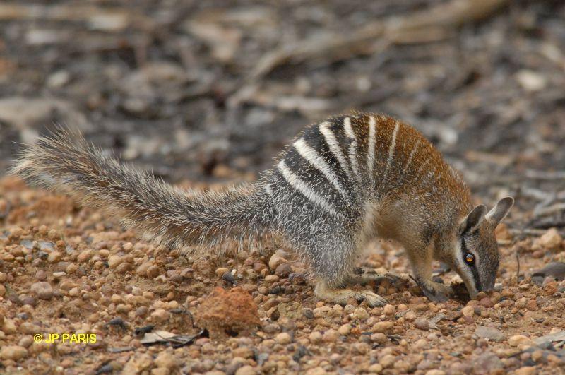 Нумбат (Myrmecobius fasciatus). Фото, фотография картинка сумчатые животные