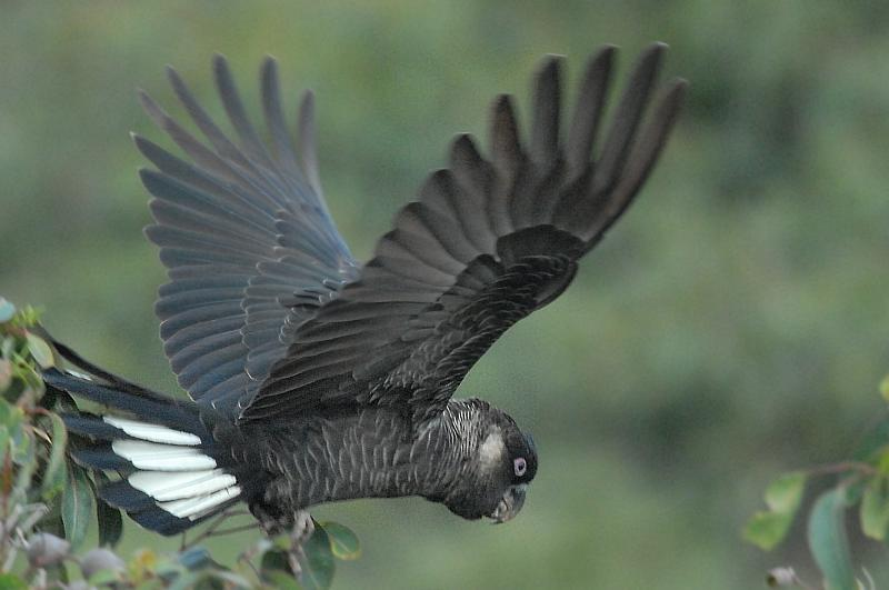 White-tailed Black-Cockatoo